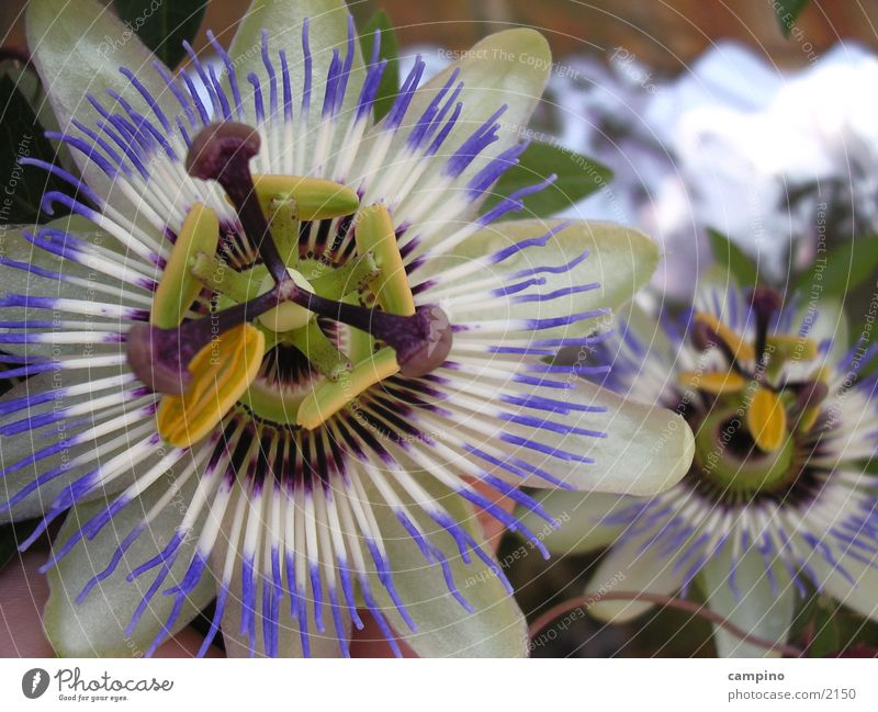 Blossom Balcony Fruit Passion flower Maracuja