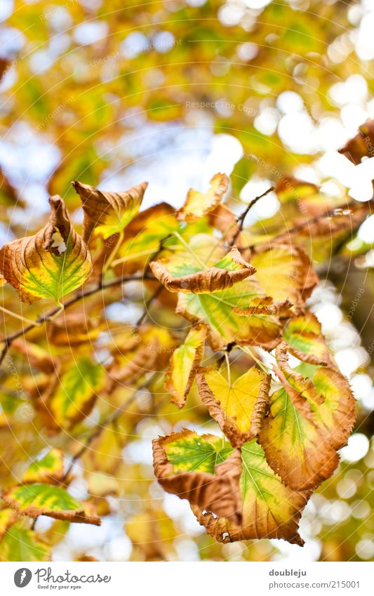 Nature Tree Green Leaf Yellow Colour Autumn Brown Time Change Natural Seasons Twig Autumn leaves Process Adjustment