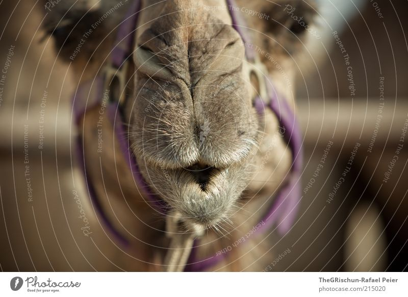 camel Vacation & Travel Trip Far-off places Summer vacation Climate Beautiful weather Desert Brown Multicoloured Violet Israel Foreign Camel Animal Animal face