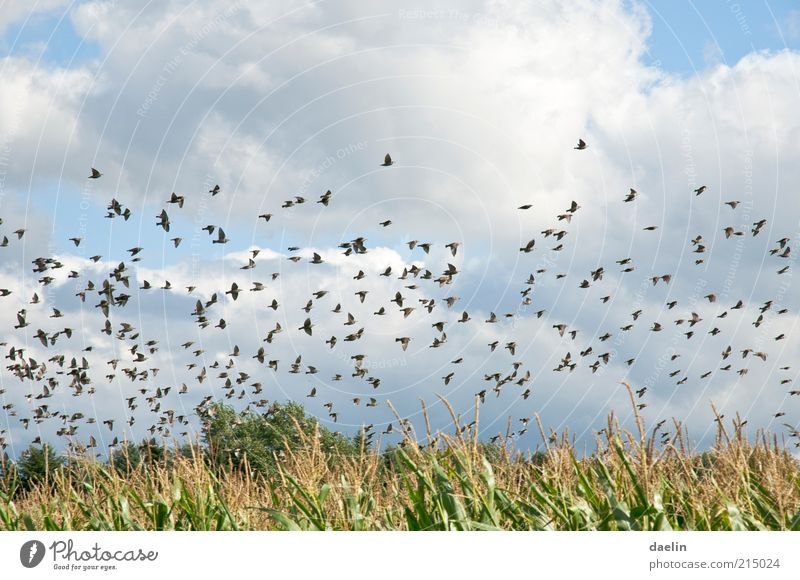 birds above cornfield Animal Agricultural crop Field Bird Flock Flying Blue Flock of birds Sky Colour photo Exterior shot Day Animal portrait Clouds Summer