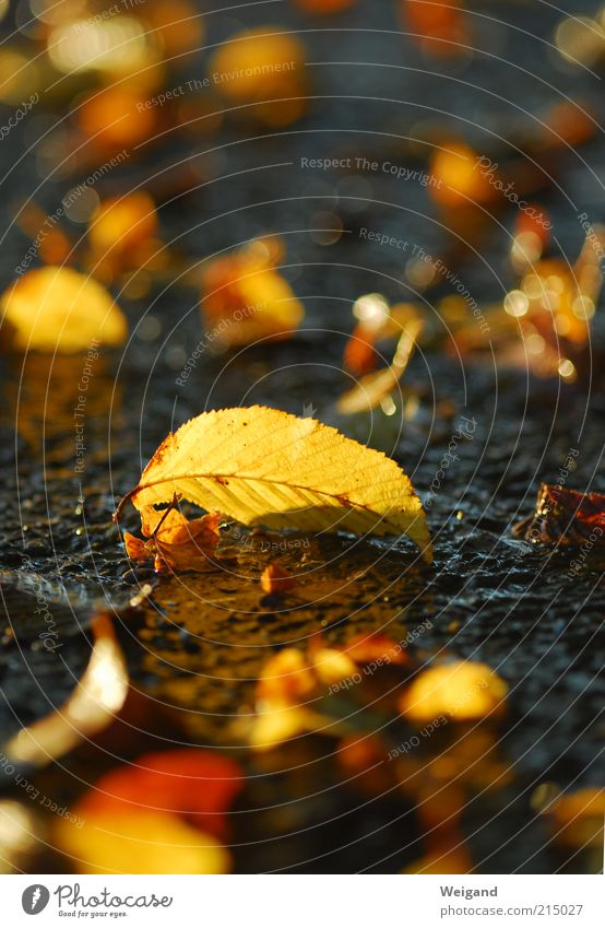 Beautiful Black Yellow Autumn Wet Gold Esthetic Ground Drop Delicate Natural Autumn leaves Autumnal Autumnal colours Autumnal weather