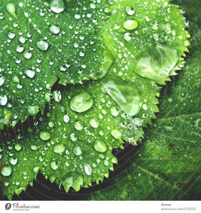 lady's raincoat Plant Elements Drops of water Rain Leaf Foliage plant Alchemilla vulgaris Alchemilla leaves Water Prongs Glittering Esthetic Fresh Healthy Wet