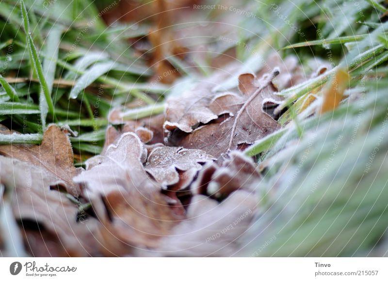 Nature Green Winter Leaf Cold Autumn Grass Brown Frost Hoar frost Autumn leaves Oak tree Oak leaf