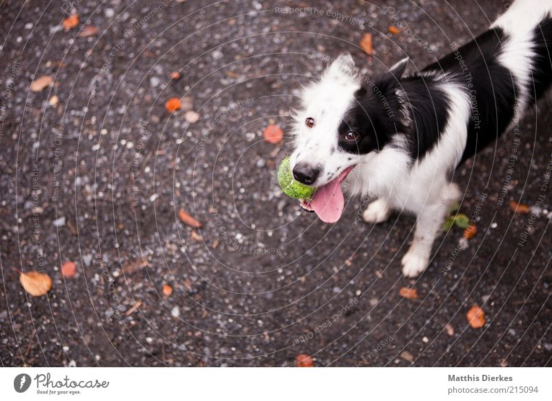 Again! Animal Pet Dog 1 Esthetic Happiness Funny Cute Positive Black White Speckled Puppydog eyes Dog's head Tennis ball Tongue Collie Colour photo