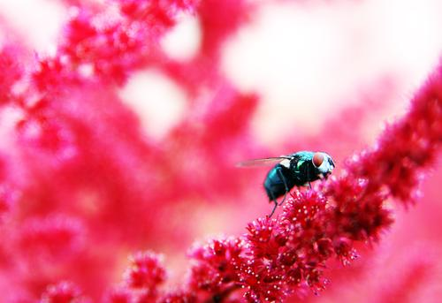 Colourful Nature Plant Animal Summer Beautiful weather Flower Blossom Genus Astilbe Garden Park Meadow Wild animal Fly Animal face Wing Eyes 1 Observe