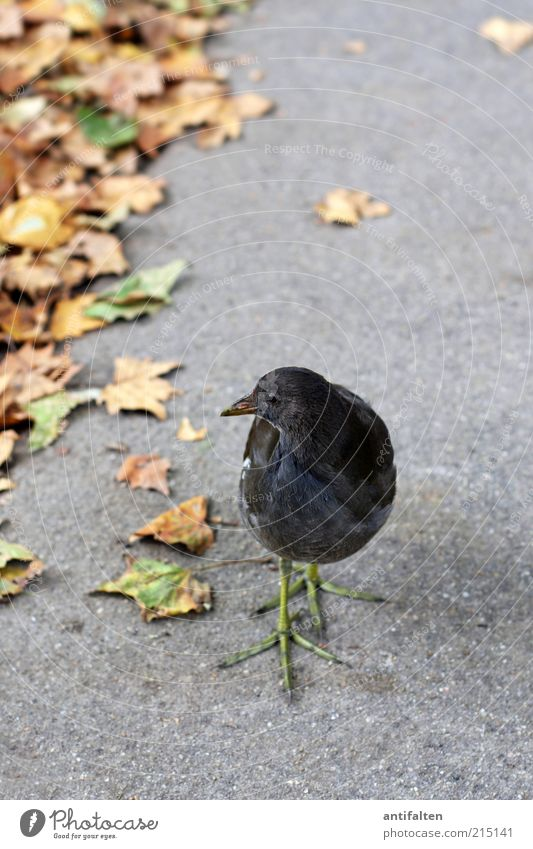 Bird with green leg dress Nature Plant Animal Earth Autumn Beautiful weather Leaf Sidewalk Lanes & trails Wild animal Wing Claw Crested grebe 1 Observe Discover