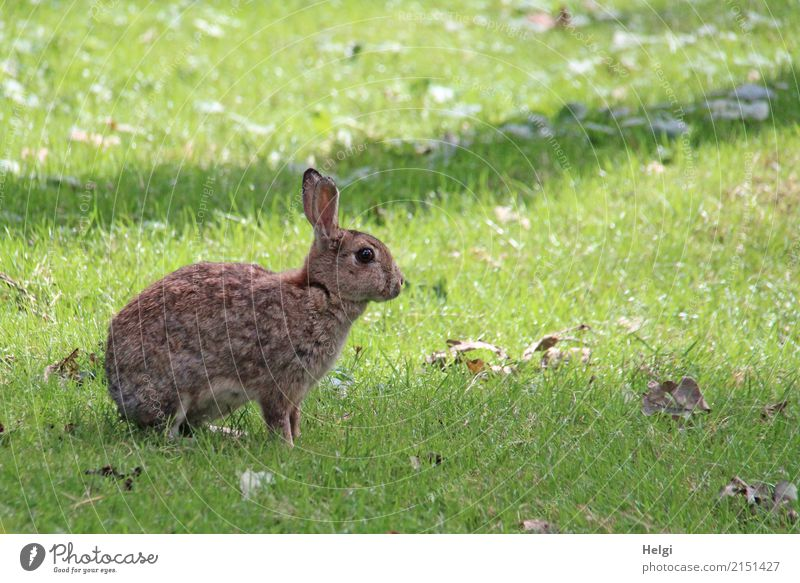 hasi Environment Nature Plant Animal Summer Beautiful weather Grass Park Wild animal Hare & Rabbit & Bunny 1 Looking Sit Uniqueness Natural Brown Gray Green