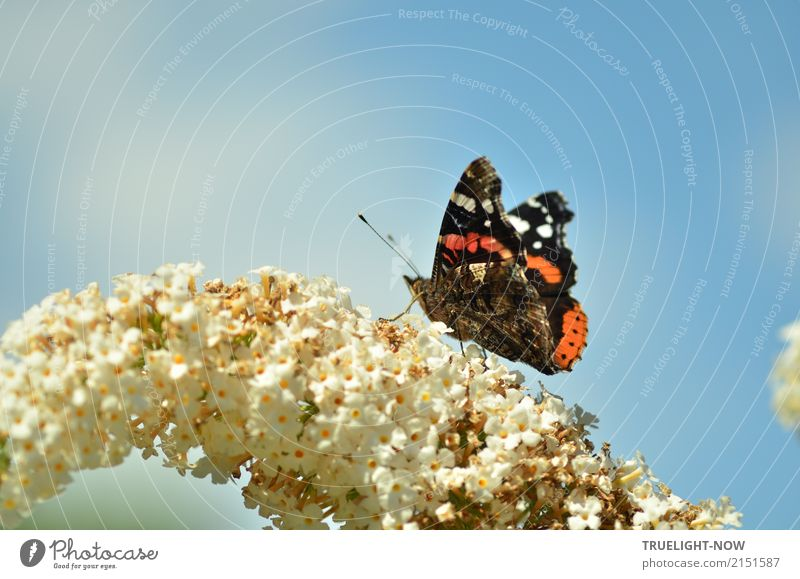 Admiral at the gas station Environment Nature Plant Animal Air Sky Summer Beautiful weather Warmth Blossom Wild animal Butterfly Red admiral 1 Esthetic