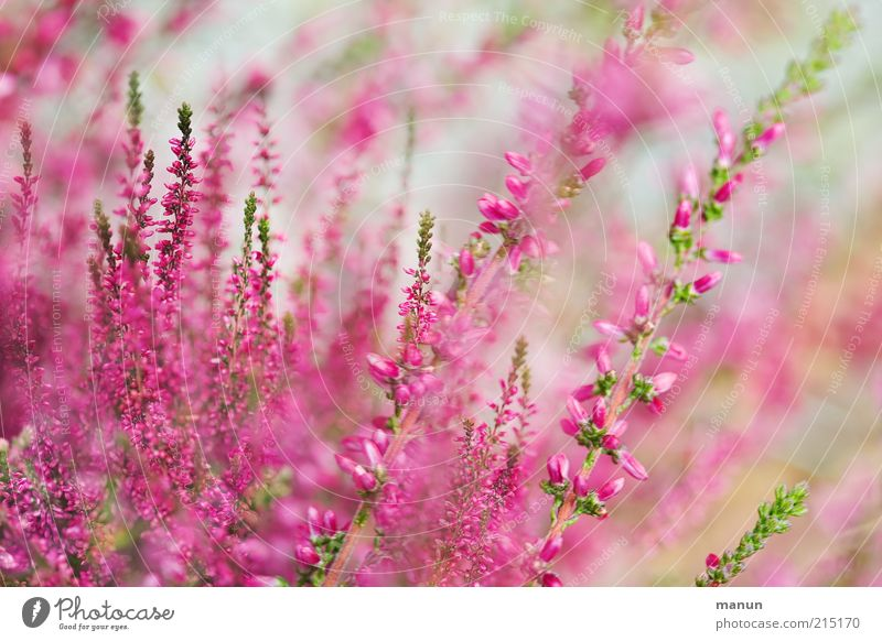heather Nature Summer Plant Flower Bushes Leaf Blossom Mountain heather Heather family Garden Blossoming Fresh Beautiful Pink Herbaceous plants Colour photo