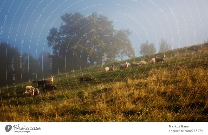 flock of sheep Vacation & Travel Nature Landscape Autumn Weather Tree Grass Meadow Animal Farm animal Group of animals Herd Blue Brown Green Serene Calm Sheep