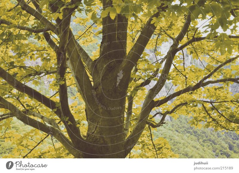 leaf canopy Environment Nature Landscape Autumn Plant Tree Leaf Blossoming Faded Yellow Green Tree trunk Colour photo Deserted Exterior shot Treetop Detail Day