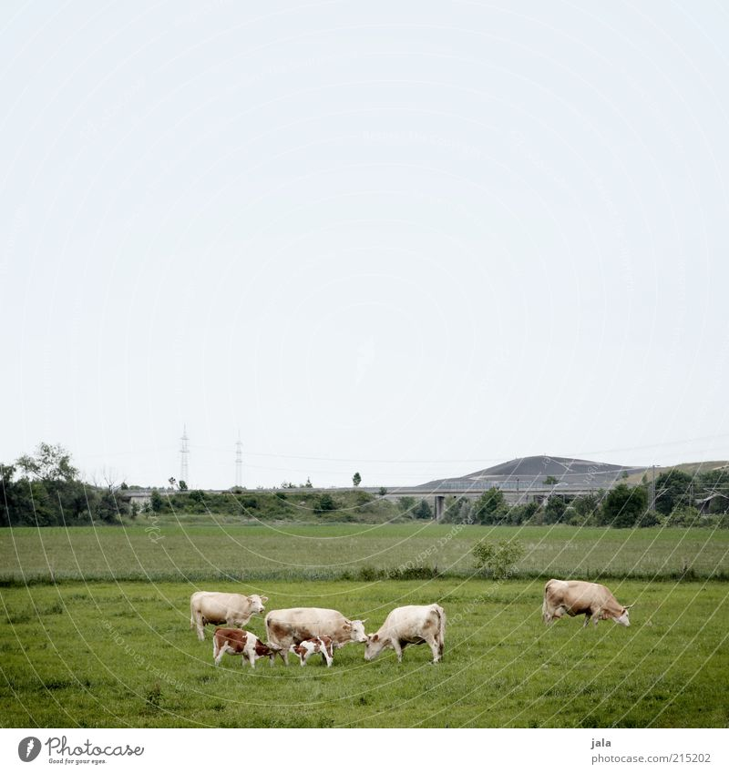 family ties Nature Landscape Sky Plant Grass Field Hill Animal Cow Pasture Herd Feeding Foraging Calf food chain Livestock breeding Dairy cow To feed