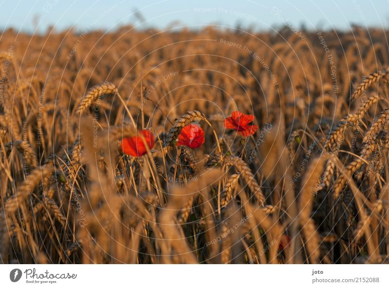 Three Food Agriculture Forestry Environment Nature Landscape Plant Horizon Summer Flower Cornfield Poppy Field Fragrance Relaxation Eroticism Idyll Senses Moody