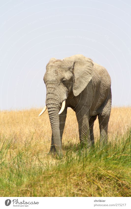 Nothing like away!!! Vacation & Travel Adventure Safari Nature Sky Grass National Park Savannah Elephant Elefantears Trunk 1 Animal Going Threat Fat Large Near