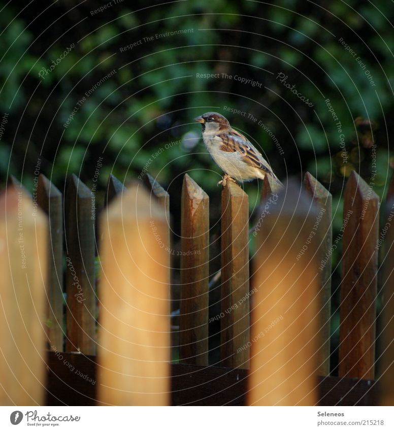 Fence-Kingly Freedom Summer Environment Nature Garden fence Animal Bird Sparrow Observe Sit Small Colour photo Exterior shot Deserted Day Shadow Fence post