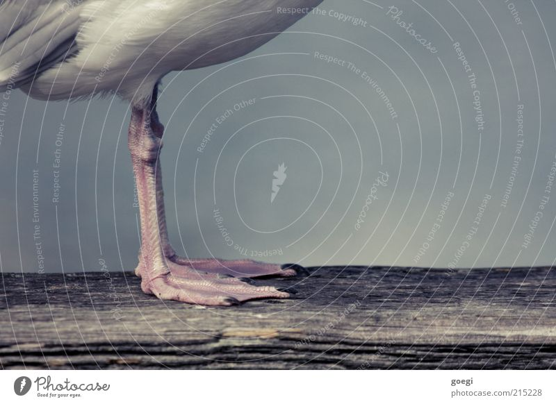 viewing direction Animal Bird Claw Seagull 1 Joist Wooden board Stand Wait Webbing Legs Feather Colour photo Subdued colour Exterior shot Detail Deserted