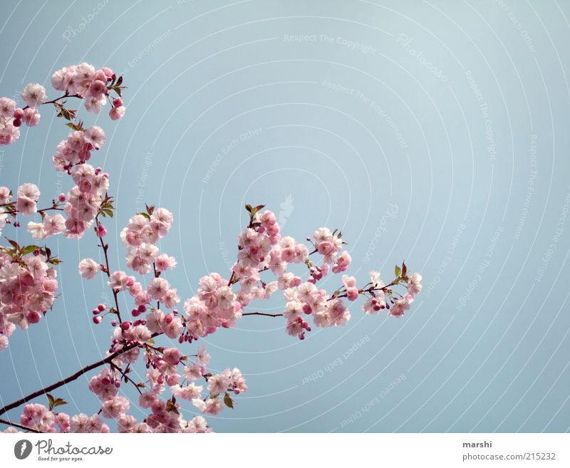 one AntiRainPhoto Nature Sky Spring Summer Plant Blossom Blue Pink Cherry blossom Summery Beautiful weather Delicate Colour photo Exterior shot Copy Space right