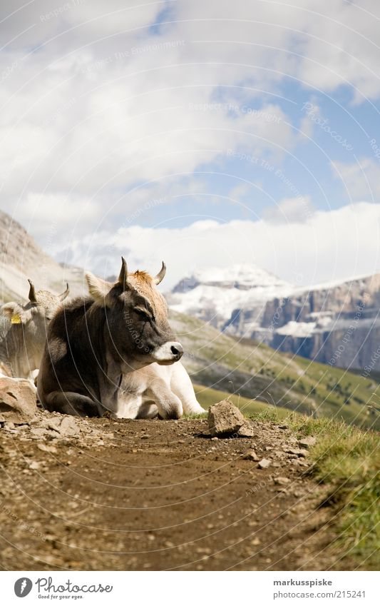 Plant Summer Calm Animal Far-off places Mountain Freedom Landscape Rock Trip Adventure Lie Alps Cow Footpath Block