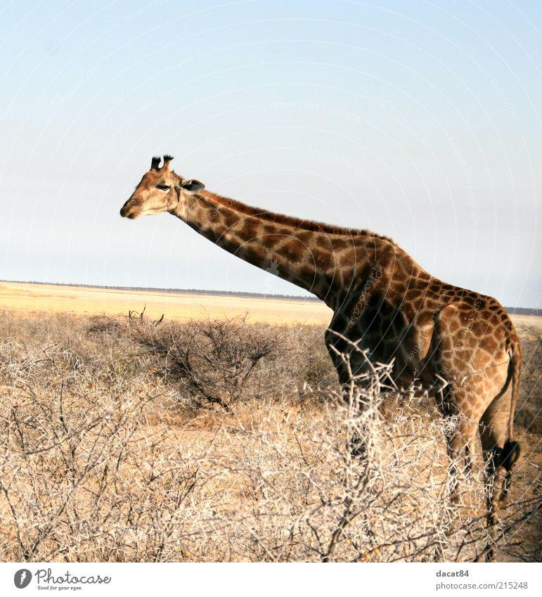 giraffe Animal Wild animal Animal face Pelt 1 Observe Blue Brown Yellow Etosha pan Giraffe Africa Namibia Colour photo Exterior shot Deserted Copy Space top