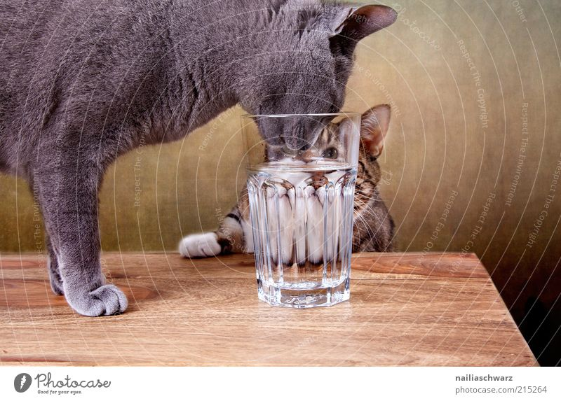Thirsty cats Beverage Drinking Drinking water Glass Animal Pet Cat 2 Wood Water Brown Gray Silver Colour photo Interior shot Close-up Deserted