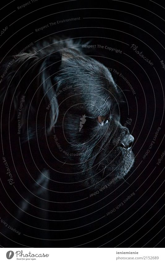 Mammoth Bull 1 Animal Pet Dog Looking Dream Esthetic Dark Near Natural Soft Black Relationship Loneliness Elegant Concentrate Power Puppydog eyes dog's nose