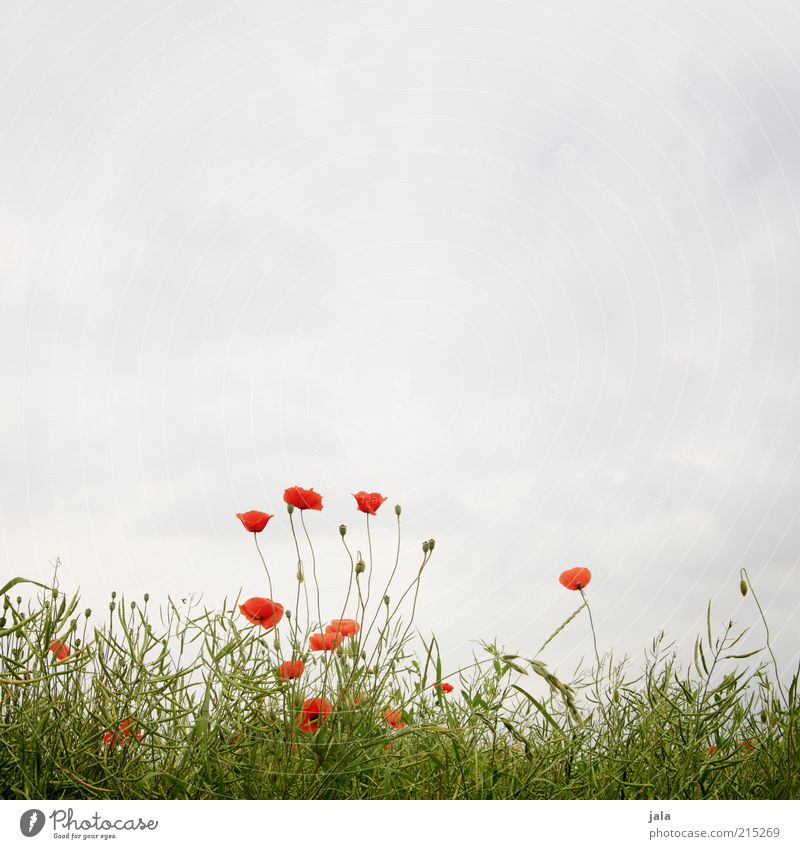 partly cloudy Nature Landscape Plant Sky Summer Flower Grass Poppy Meadow Blue Green Red Colour photo Exterior shot Deserted Copy Space top Day Poppy blossom