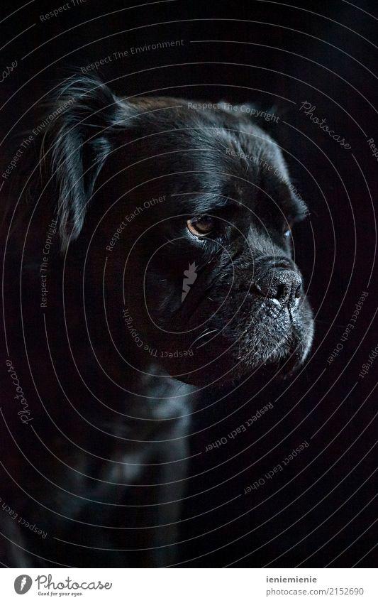 Dog Animal Leisure and hobbies Elegant Pet Considerate Resolve Puppydog eyes Bulldog Pighead