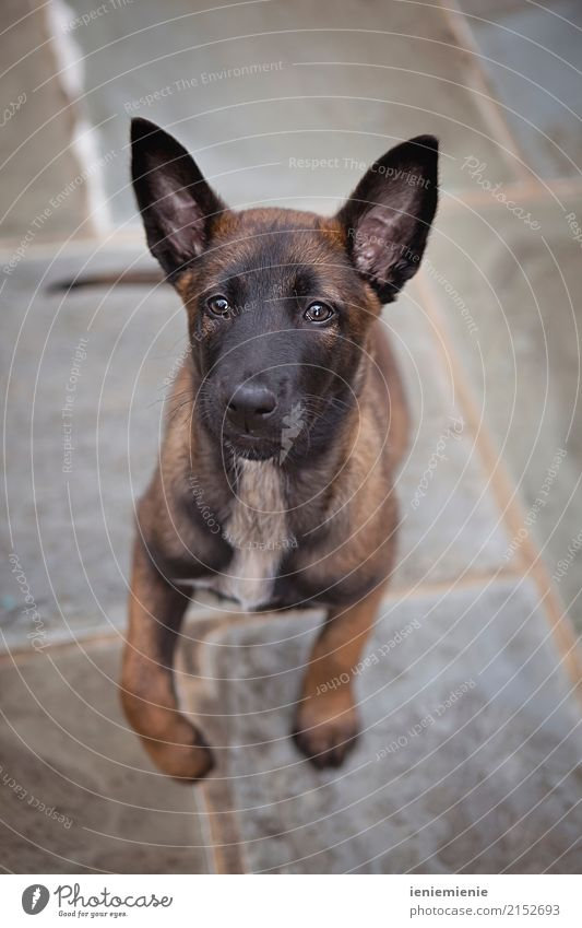 Puppy Malinois Animal Pet Dog Brash Friendliness Happiness Joy Love of animals Leisure and hobbies Friendship Attachment Jump Looking malinoi Colour photo