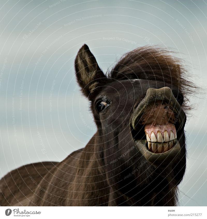 Joy Animal Funny Brown Crazy Horse Set of teeth Animal face Pet Whimsical Iceland Animalistic Pony Human being Farm animal Muzzle