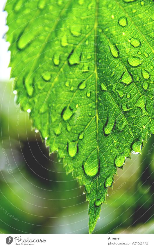 I'm not going to let the weather ruin my party! Nature Drops of water Weather Rain Leaf Garden Prongs Dripping Glittering Fresh Bright Green Optimism Purity