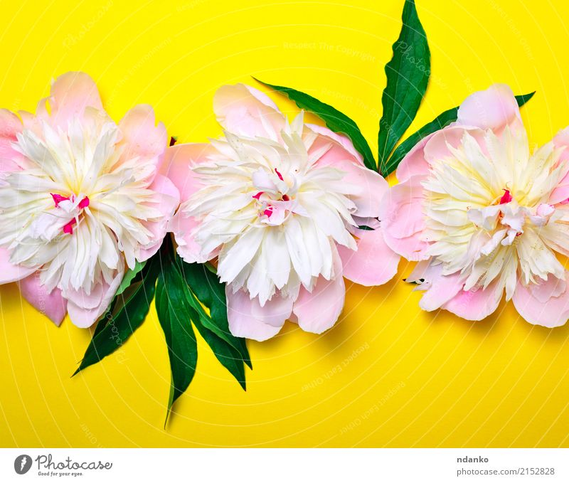 buds of pink flowering peonies Nature Plant Colour Green White Flower Leaf Yellow Blossom Natural Feasts & Celebrations Pink Bright Fresh Birthday Blossoming