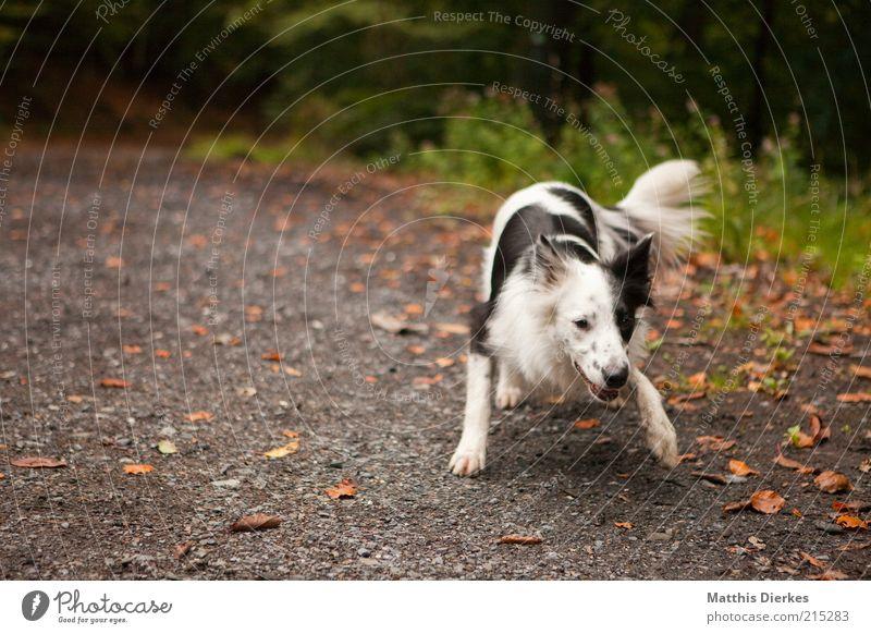 frisky Animal Pet Dog 1 Playing Dog's head Dog's snout Collie Start position Speckled Black White Nature Lanes & trails Colour photo Exterior shot