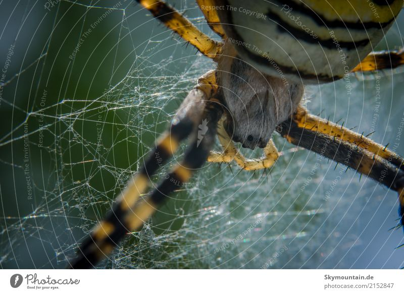 Wasp spider - gone into the web Environment Nature Landscape Plant Animal Climate Beautiful weather Bad weather Garden Park Meadow Field Forest Wild animal