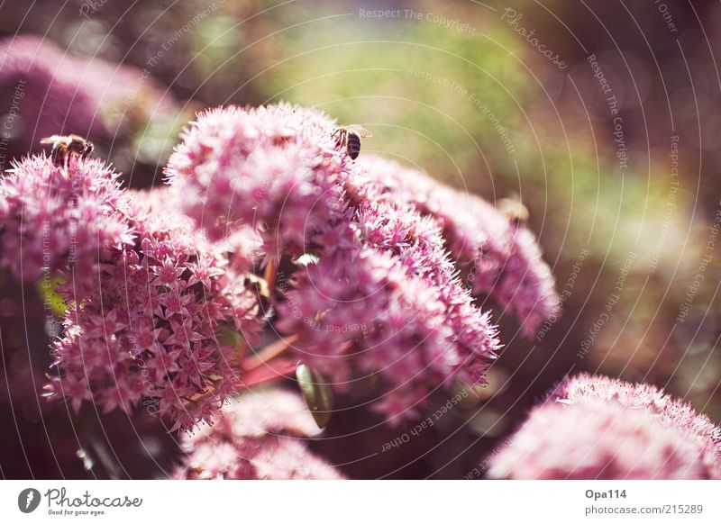 Nature Flower Green Plant Summer Calm Animal Life Blossom Spring Warmth Pink Environment Bee Illuminate Beautiful weather