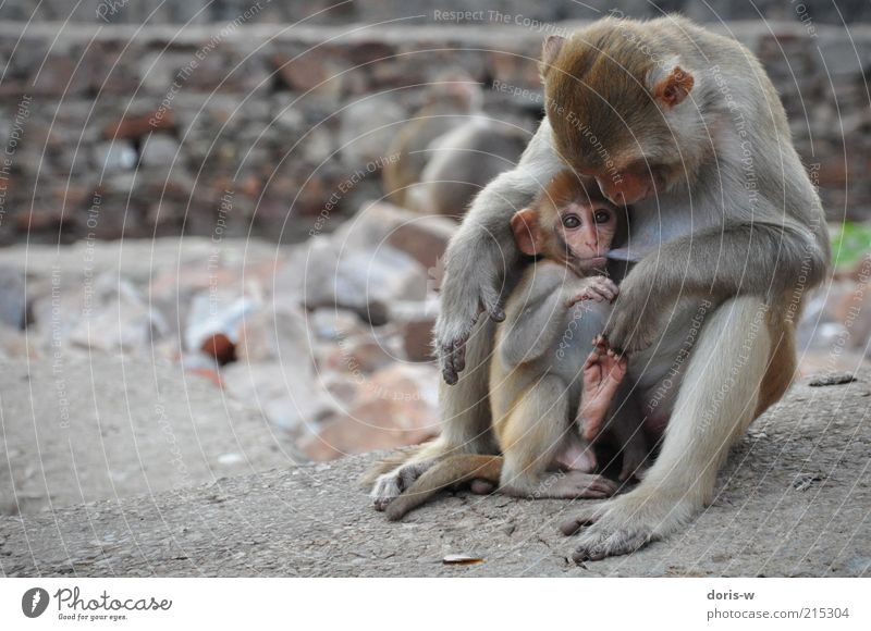 mummy's boy Animal Wild animal Zoo Animal family Monkeys Eyes Suck Nipple Together Sit Relationship Fear Protect India Exotic Ear Brown Pelt Drinking