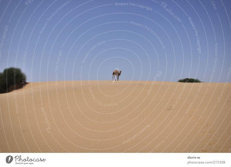 dromedary Sand Sky Cloudless sky Sun Warmth Drought Bushes Beach Desert Oasis Animal Farm animal Wild animal 1 Exotic Dromedary Camel Camel hump Going