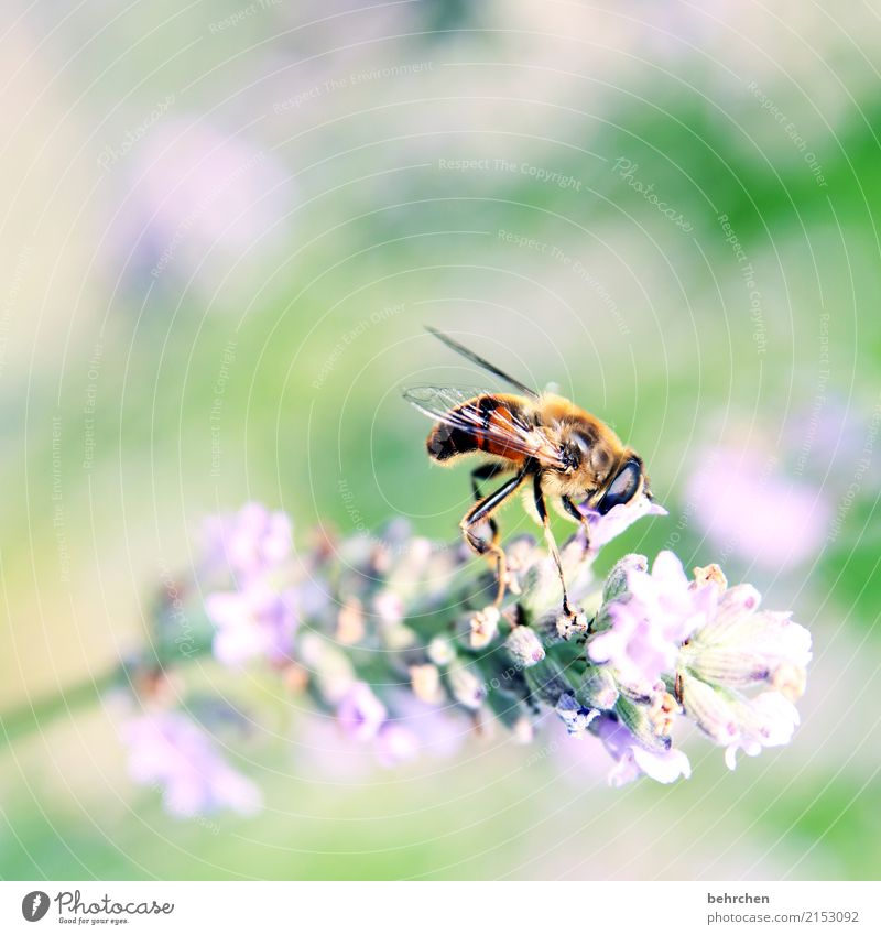 put your head in the blossom... Nature Plant Animal Summer Beautiful weather Flower Leaf Blossom Lavender Garden Park Meadow Wild animal Bee Animal face Wing 1