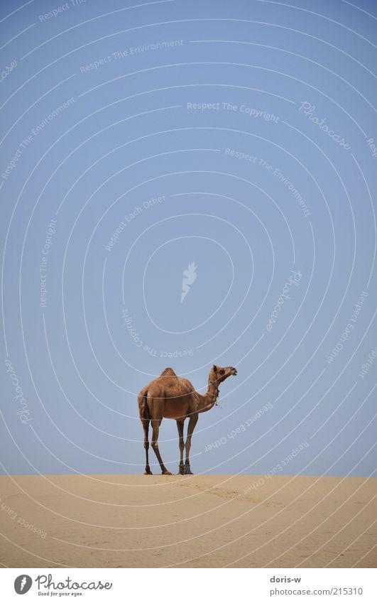 Sky Blue Loneliness Animal Freedom Head Sand Warmth Legs Horizon Stand Desert Wild animal Dry India Dune