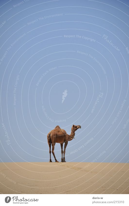Sky Blue Loneliness Animal Freedom Head Sand Warmth Legs Horizon Stand Desert Wild animal Dry India Dune