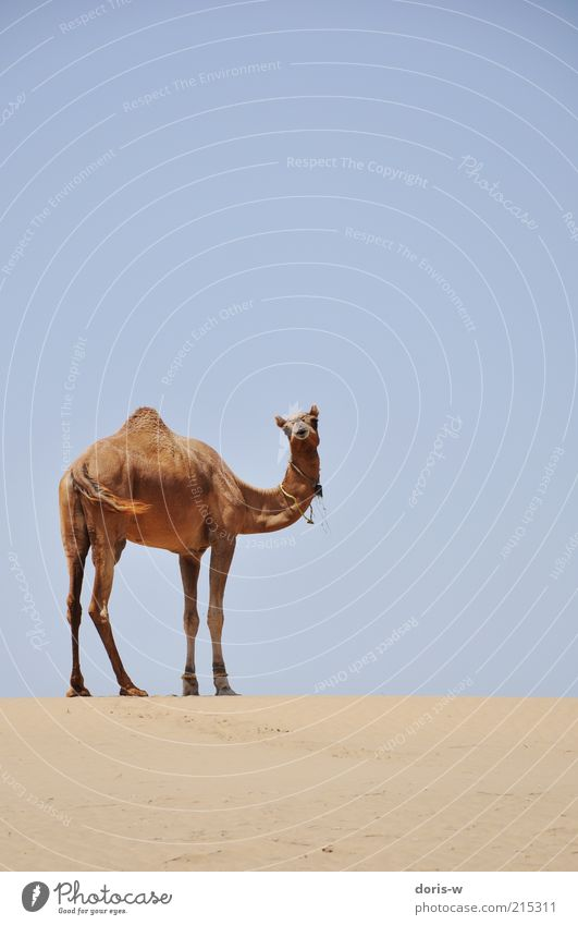 Sky Vacation & Travel Loneliness Animal Freedom Head Warmth Sand Horizon Esthetic Desert Wild animal India Neck Tails Drought