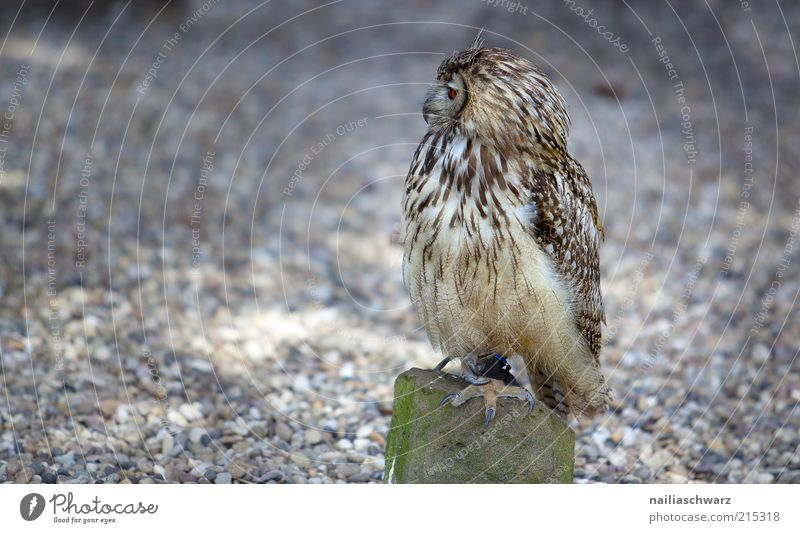 owl Animal Wild animal Bird Owl birds Eagle owl 1 Observe Sit Brown Colour photo Subdued colour Exterior shot Deserted Copy Space left Day