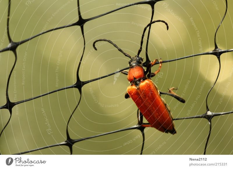 climbing scaffold Beetle red beetle soft beetle Red Orange Brown Net Insect Macro (Extreme close-up) Close-up Climbing Fight To hold on Exterior shot Long shot