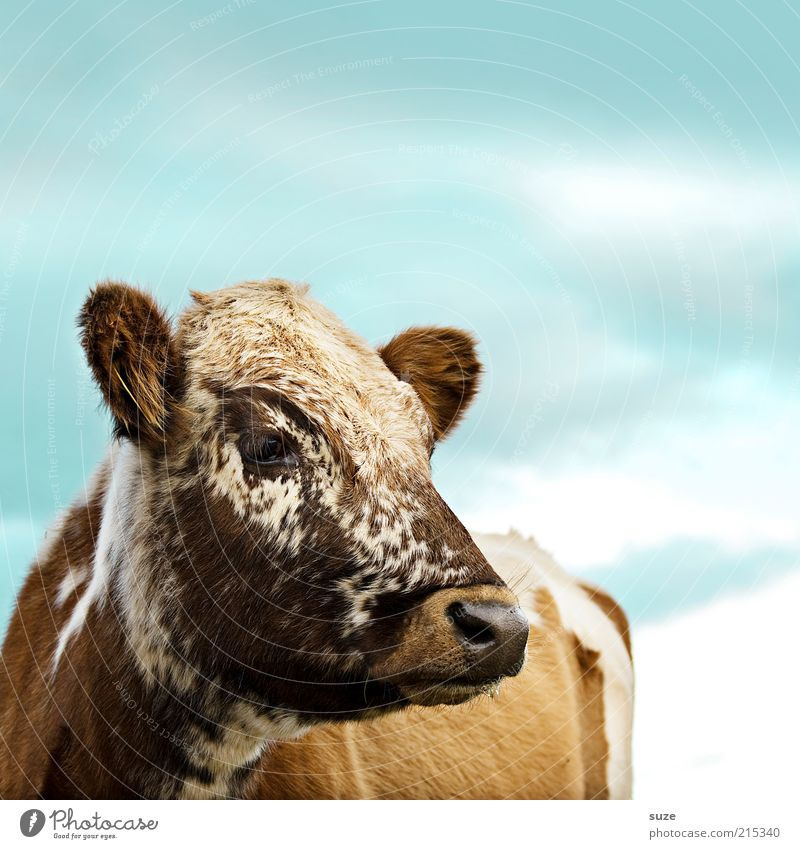 cappuccino Nature Animal Sky Farm animal Cow Animal face 1 Exceptional Cute Blue Brown Calf Cattle Dappled Country life Agriculture Cattle breeding Dairy cow