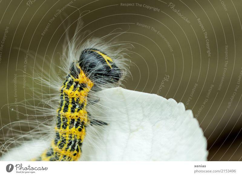 be on the lookout Summer Hydrangea Garden Butterfly Caterpillar 1 Animal Observe Looking Yellow Black White Striped Hairy moon bird moonspot Phalera bucephala