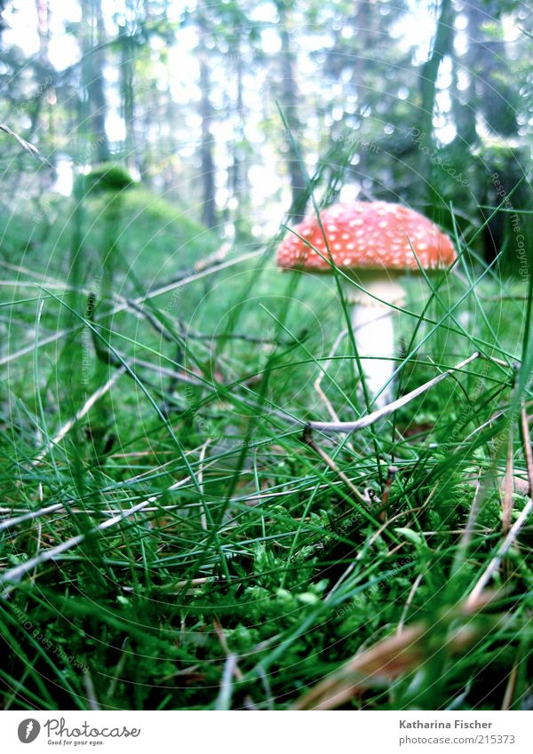 fly agaric Environment Nature Landscape Autumn Plant Grass Bushes Forest Green Red White Mushroom Amanita mushroom Tree Leaf Woodground Poison Mushroom cap