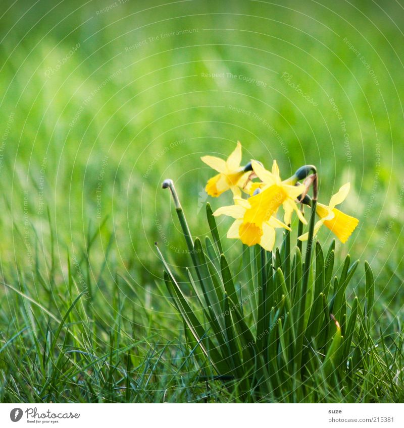 Nature Plant Green Flower Yellow Meadow Spring Blossom Blossoming April March Spring flower Narcissus Spring flowering plant Wild daffodil