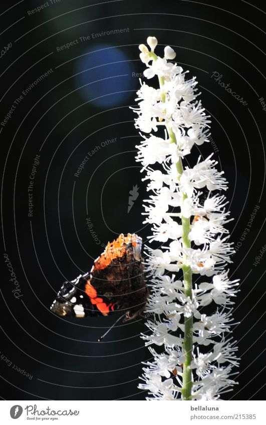 Yes, Mr. Admiral! Nature Plant Animal Sunlight Summer Weather Beautiful weather Wild plant Wild animal Butterfly Wing 1 Sit Insect Red admiral Colour photo