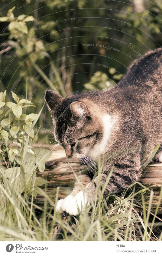 200 times sharpen claws Animal Pet Claw Paw Beautiful Colour photo Exterior shot Cat's paw Deserted Grass Movement Catch Hunting Prowl Free-living Day