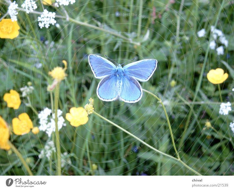 blue Butterfly Meadow Flower butterfly Close-up