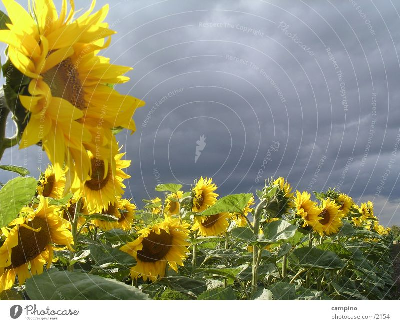 Clouds Moody Field Wind Agriculture Sunflower Flower